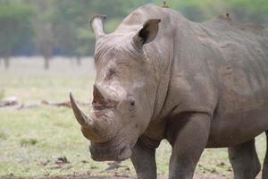 retrato de um rinoceronte branco foto