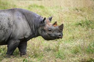 rinoceronte preto diceros bicornis michaeli em cativeiro foto