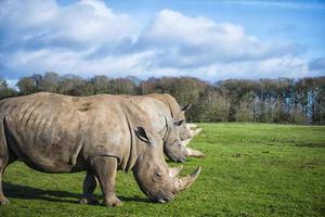 três rinocerontes brancos pastando na natureza foto