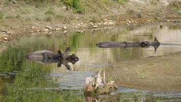 rinoceronte de um chifre maior em bardia, nepal