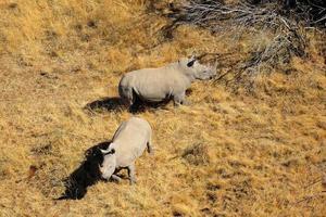 par de rinocerontes brancos foto