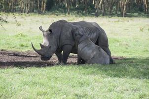 mãe e bebê rinoceronte no Quênia foto