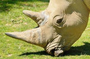 cabeça de rinoceronte foto