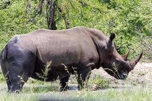 rinoceronte em pé foto