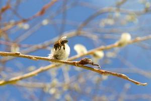 abelha em um galho de salgueiro foto
