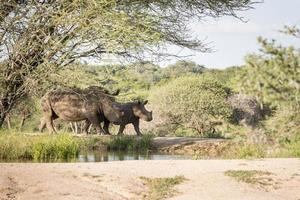 rinoceronte branco no parque kruger foto