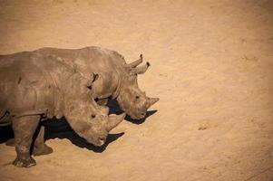 rinocerontes de casal foto