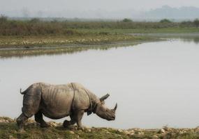 rinoceronte asiático foto