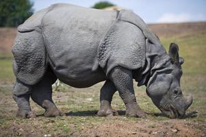 rinoceronte em pé