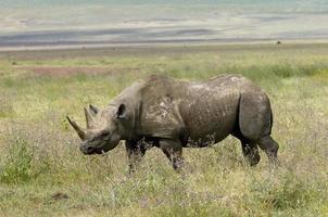 rinoceronte negro foto