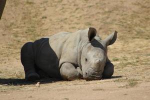 rinoceronte branco bebê foto