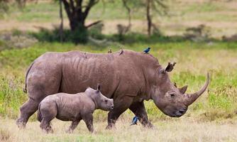 rinoceronte com seu bebê no lago nakuru national park foto