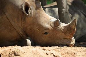 rinoceronte sonolento deitado no chão foto