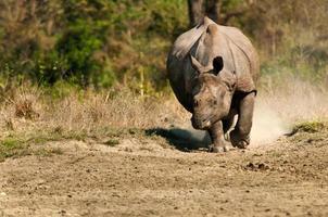 rinoceronte cobrando em um parque nacional na Índia foto