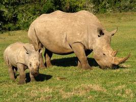 mãe rinoceronte e jovens, áfrica do sul. foto