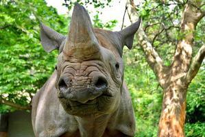 o rinoceronte preto foto