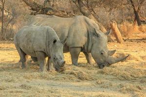 rinocerontes brancos foto