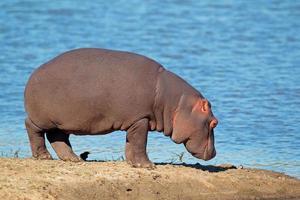 hipopótamo foto
