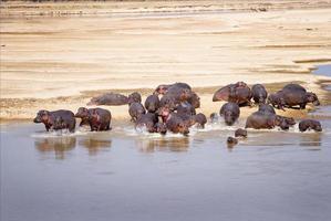 família hipopótamo foto