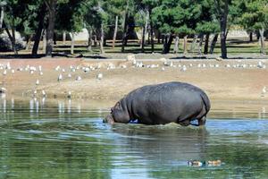 hipopótamo no lago foto