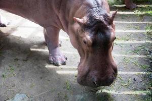hipopótamo fofo no zoológico foto