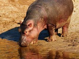 hipopótamo bebendo à beira-mar foto