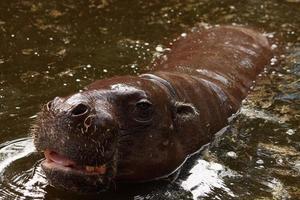 hipopótamo pigmeu foto