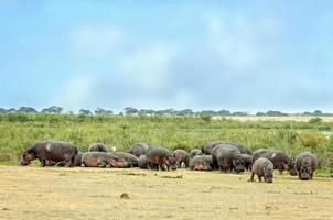 hipopótamos se aquecem ao sol na frente do pântano