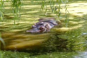 hipopótamo banhado completamente no rio ao nível da água