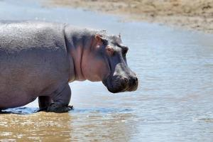 família de hipopótamo. quênia, áfrica foto