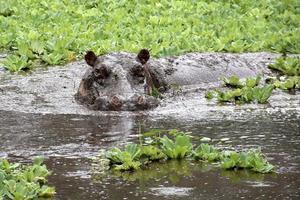 hipopótamo chafurdando na lama foto