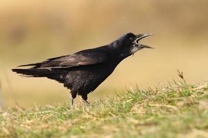 corvo negro cantando foto
