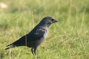 gralha, corvus monedula foto