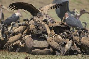 abutre-de-dorso-branco (gyps africanus) aglomerado na carcaça de hipopótamo (hippopotamus amphibius) foto