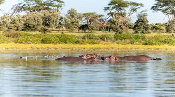 grupo de hipopótamo na água foto