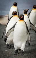 rei pinguins na praia macquarie island foto