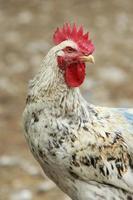 galinha séria foto