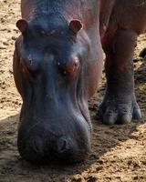 hipopótamo pastando foto