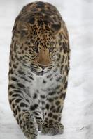 amur leopardo na neve, леопард амурский foto