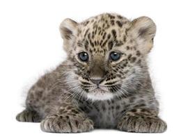 filhote de leopardo persa (6 semanas) foto