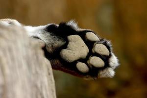 pé leopardo pantera panthera pardus foto
