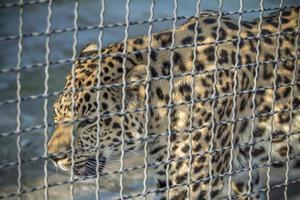 leopardo em uma célula foto