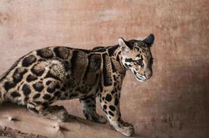 filhote de leopardo nublado foto