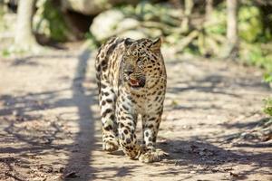 amur leopardo foto