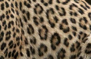 pele de leopardo foto