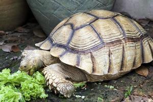 tartaruga sulcata (geochelone) foto