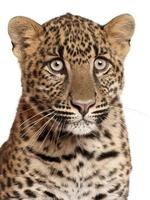 close-up de leopardo, panthera pardus, 6 meses de idade foto