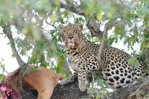 leopardo em uma árvore foto