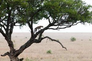 leopardo subindo em uma árvore foto