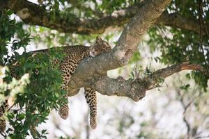 leopardo dormindo na árvore foto